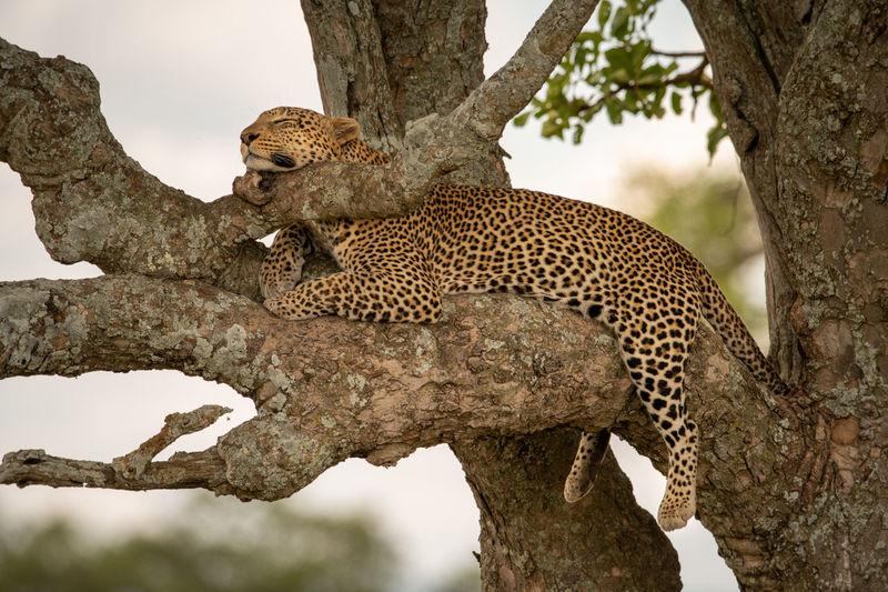 Leopard lies asleep resting head on branch