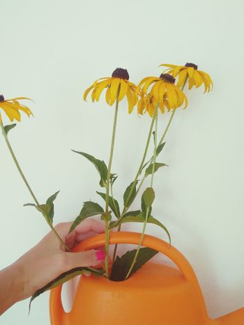 EyeEm Selects Flower Plant Fragility Human Body Part Flower Head Freshness Watering Can Close-up Human Hand Black Eyed Susan Rudbeckia Fresh Flowers Summer Flowers White Background Orange Color Yellow Flower Garden Flowers