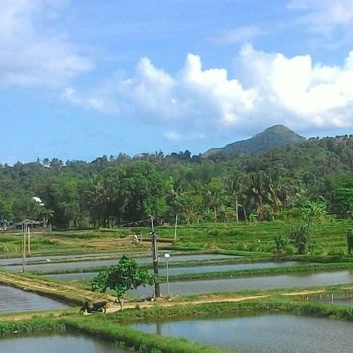 Farm Nature Nature Photography Evergreen Trees Cloud - Sky Water No People Lake Mountain Outdoors Day Rice Paddy Cellphone Photography Nature Sky Ricefield View Fishpond&atree