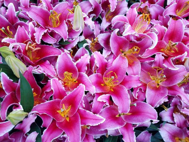 Pink oriental lily flowers Bunch Gardening Fragrant Oriental Lily Flower Head Flower Backgrounds Full Frame Pink Color Petal Close-up Plant In Bloom Blooming Blossom Botany Plant Life