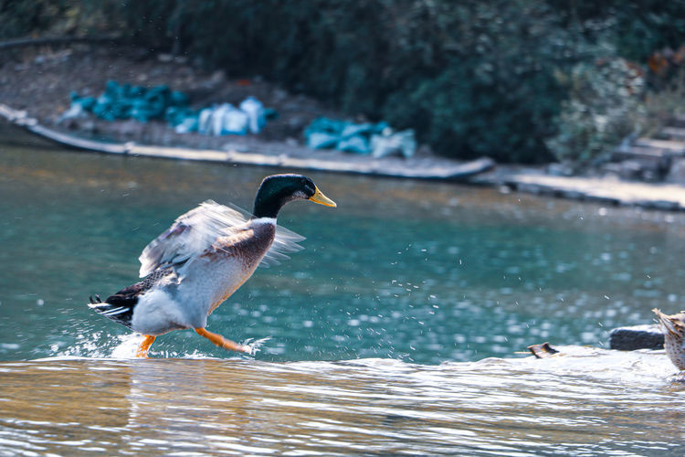 Duck flying over river