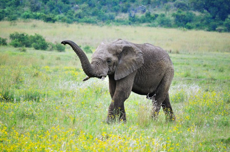 Elephant calf walking on field at pilanesberg game reserve