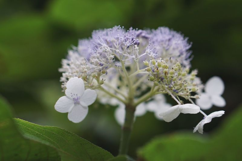 Flowers Hydrangea Flower Flowering Plant Plant Fragility Freshness Petal Nature White Color No People Growth