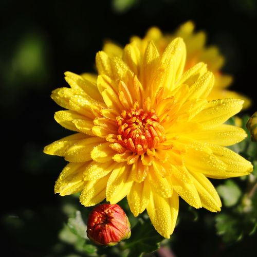 Flower Petal Flower Head Fragility Nature Beauty In Nature Plant Yellow Outdoors Growth Day Freshness Park - Man Made Space No People Focus On Foreground Close-up Beauty Zinnia  Daisy Flower Head Daisy Flower Daisy 🌼 Daisy ♥ Daisyflower Daisys