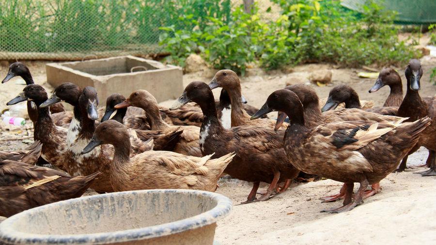 Flock of birds in a farm