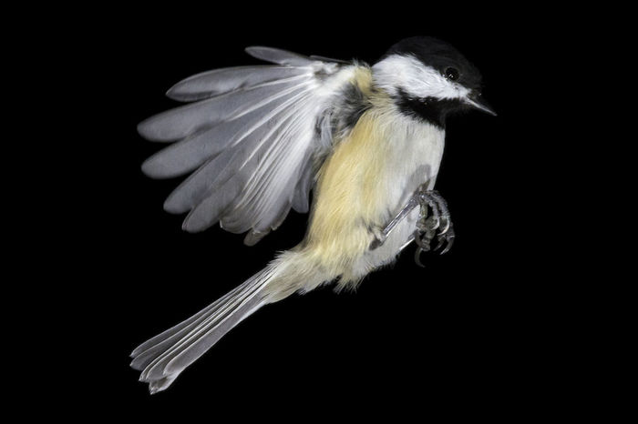 Black-capped chickadee frozen in time mid-flight, isolated Birds Of EyeEm  Black Capped Chickadee Feathers Wing Animal Themes Animal Wildlife Animals In The Wild Bird Birds Black Background Chicadee Close-up Day Flying Nature No People One Animal Outdoors Perching Studio Shot
