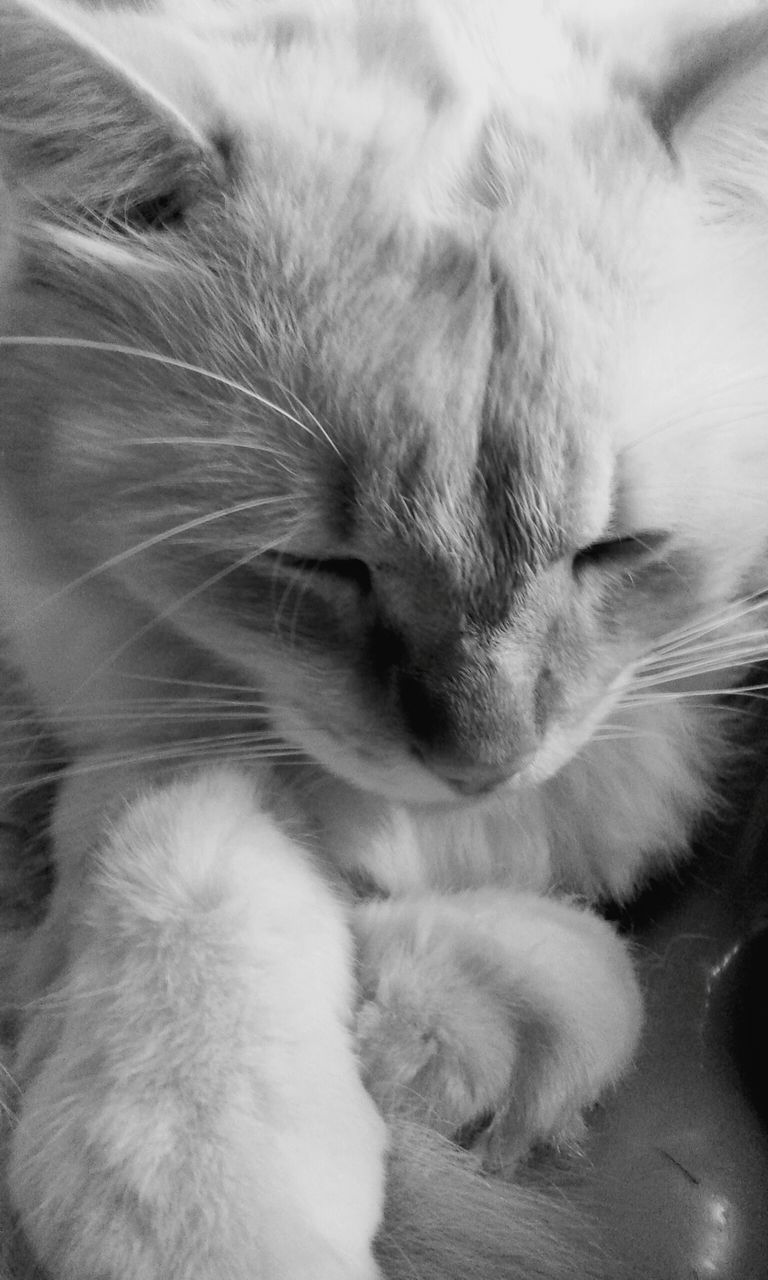 domestic cat, pets, domestic animals, animal themes, one animal, feline, mammal, cat, sleeping, indoors, no people, whisker, close-up, relaxation, paw, friendship, day