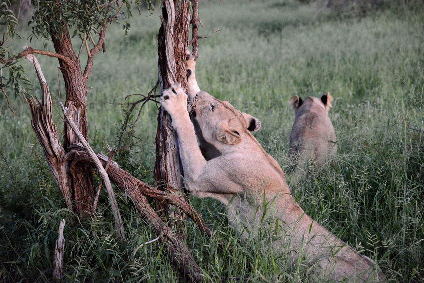 Safari in Hlane Royal National Park in Swaziland. Hlane Hlane Royal National Park Lion National Park Swaziland  Wildlife & Nature Animal Themes Animal Wildlife Animals In The Wild Day Lioness Nature Outdoors Safari Tree