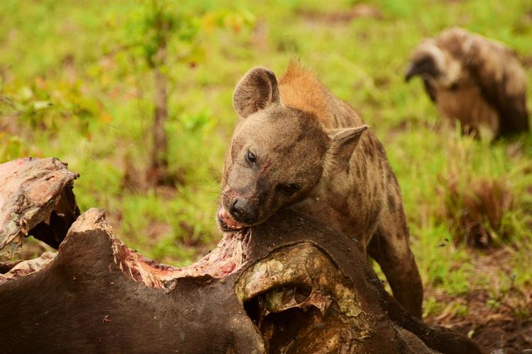 Close-up of animal eating prey at forest
