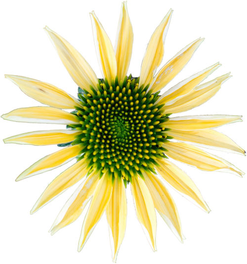 Yellow coneflower - The flower of summer on white background Beauty In Nature Black-eyed Susan Blooming Close-up Day Flower Flower Head Fragility Freshness Growth Isolated White Background Macro Macro Beauty Macro Photography Macro_collection Nature No People Petal Studio Shot White Background Yellow