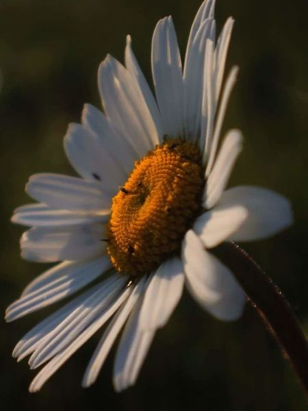 I've been out playing with my macro lens this evening. This was about the only half decent shot i got as it was a little windy! 🌼😁🌼 Daisies Daisy Check This Out Enjoying Life Macro Macro_collection Macro Photography Macro Beauty Maidenhead Nationaltrust Nature_collection Beautiful EyeEm Nature Lover From My Point Of View Nature Streamzoofamily Evening Sun Canonphotography