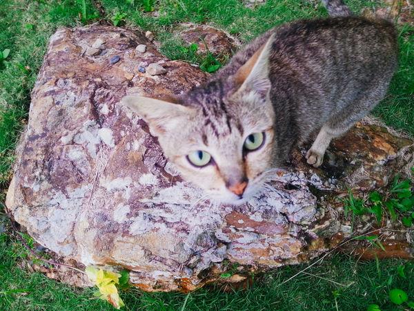 Animal Carnivorous Mammal Cat Cute Domestic Cat Feline Feral Cat Furry Human Companion Hunters Animal Looking At Camera Pets