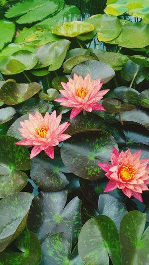 Water Flowers Pink Texas Austin Nature Botanical Gardens Photography