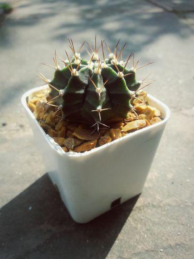 Nature Summer No People Close-up Sunlight Fruit Day Freshness 3XSPUnity EyeEm 3XSPUnity Cactus Collection Cactus Nature Cactus Nature EyeEmNewHere