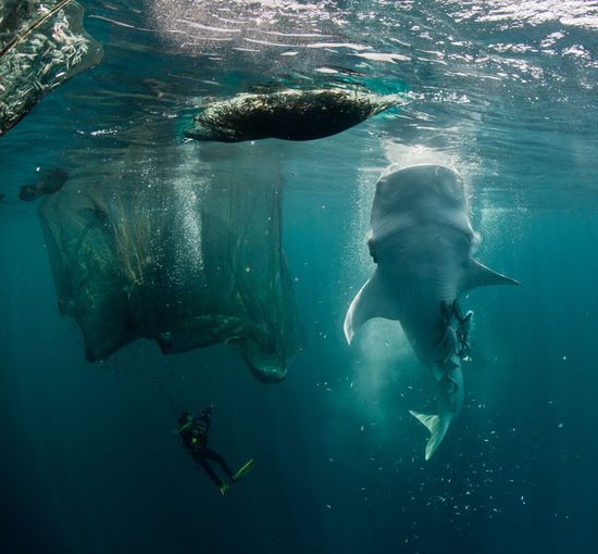 Scuba Divers With White Whale Underwater