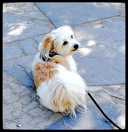 Merlin - Bolonka Zwetna BolonkaZwetna Bolonka Cute Dog Sweetheart Pets Sitting Dog Close-up