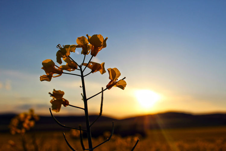 Close-up of orange flowering plant on field against sky during sunset
