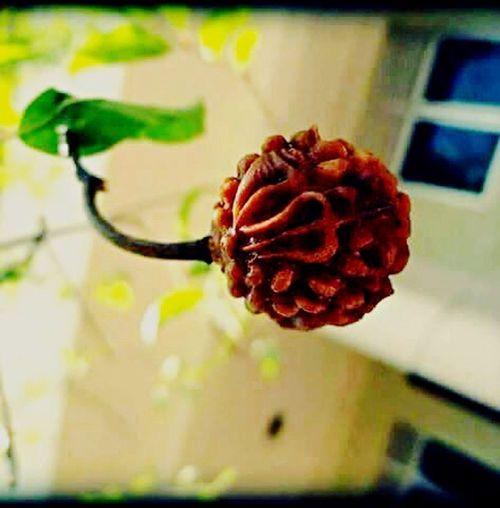 Rudraksha Rudrashaplant Natural Texture Trishulam OmNamahShivaya Godscreation Green Leaves Athome