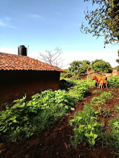 Rancho Mexico Altos De Jalisco Los Altos Jalisco Cattle Cows In A Field Rural Scene Agriculture Jalisco, México Grass Green Color Nature Vacas México Viejo Antiguo Adobe House Casa De Adobe