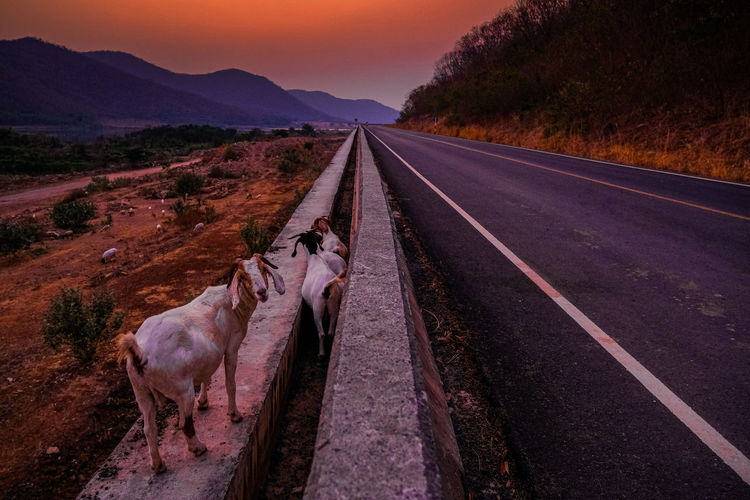 View of a horse on road at sunset