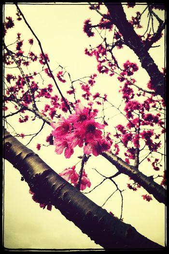 看到櫻花還是忍不住拍了哈!