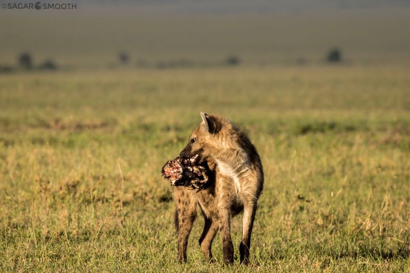 Hyena carrying meat in mouth