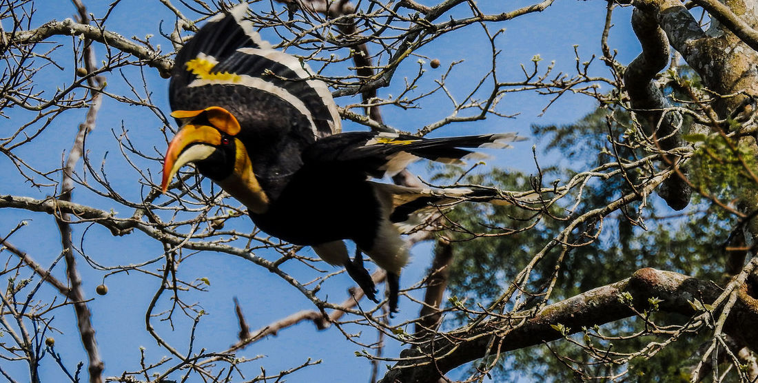 Launch me.... Great Hornbil Low Angle View Day Outdoors No People Branch Nature Tree Sky Clear Sky Beauty In Nature Born Free Perching Flying In The Sky Fly Away Flying Birds Flight Wings Hornbill Festival Hornbills