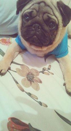 Zeus <3 Pug Dog Cute Likee