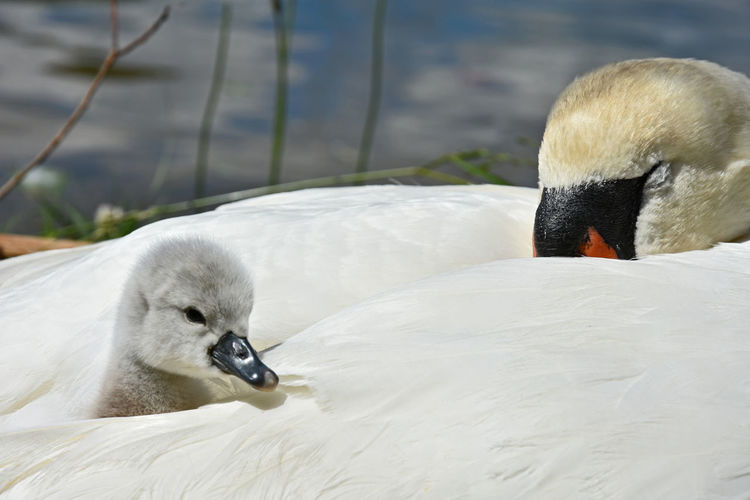 Close-Up Of Mute Swans With Cygnet