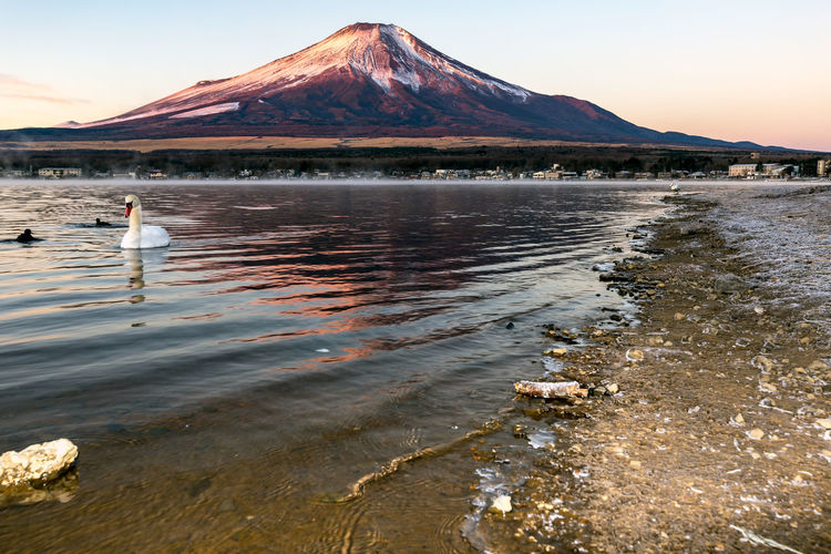 with sunrise colours and swan at Lake Yamanakako, Yamanakako Village , Yamanashi Prefecture ,Japan. Bird Animal Nature Lake Mountain Mount FuJi Fuji Fujiyama   Animals In The Wild Yamanashi Yamanakako Village Fuji Five Lakes Morning Red Reflection Pink Color Japan Photography Lake Yamanaka Travel Destinations Snowcapped Mountain Swan Winter