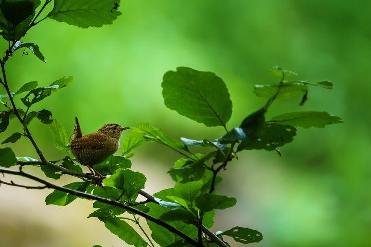 wren Wren Bird