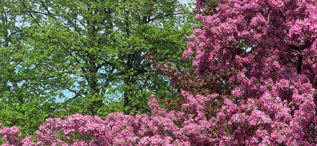 Low angle view of pink flowering tree in park