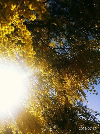 Theviewfromhere Treescape Through My Eyes Whatisee Sunshine Sunlight Eyeemflowerlover Thetrees Wattle Tree Yellow Flower Inthesun Wattle Flower Wild Flowers