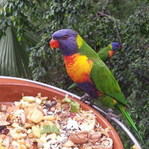 Rainbow Rainbowlorikeet Parakeet Birds Paradise Tropical Rainforest Rainforest Parrot Aviary