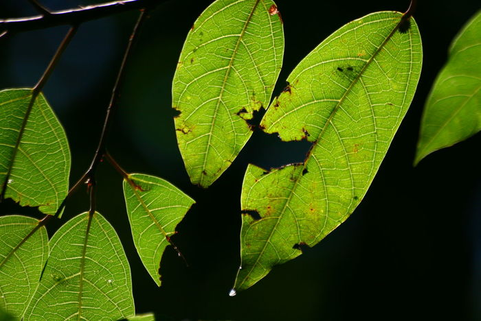 Background Beauty In Nature Black Background Close-up Day Fragility Freshness Green Color Growth Leaf Maple Nature No People Outdoors Plant ใบไม้