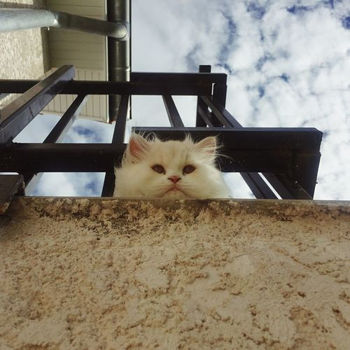 Chat alors ! (Part. 2) Domestic Cat Domestic Animals Animal Themes Pets One Animal Feline Cat Looking At Camera Portrait Indoors  No People Day Sky IPhoneography Cute Tranquil Scene Hairy  Holiday Persian Cat  Clouds And Sky Cloud Cloud - Sky 😸