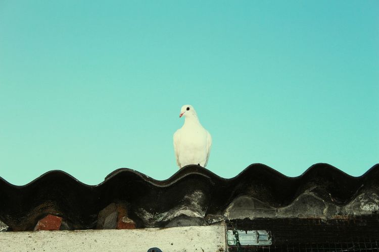 Low angle view of dove perching on roof against clear sky