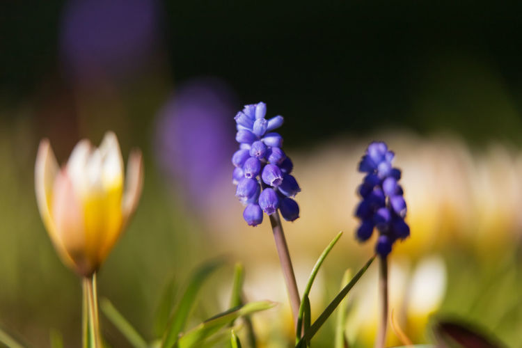 grape hyacinth Flower Flowering Plant Plant Freshness Beauty In Nature Fragility Vulnerability  Close-up Growth Petal Purple Nature Flower Head Inflorescence Plant Stem Focus On Foreground No People Selective Focus Yellow Blossom Springtime Ornamental Garden Flowerbed Grape Hyacinth
