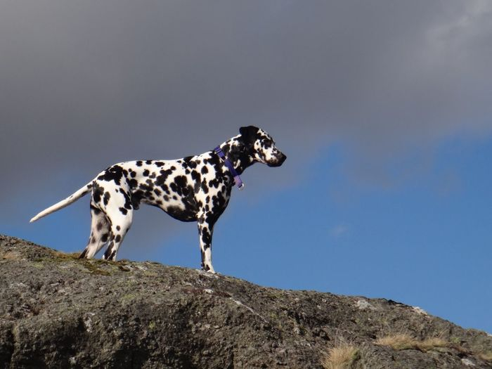 Low Angle View Of Dalmatian Dog Standing On Mountain Peak