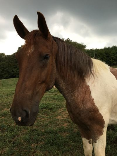 Horse Paint Horse Horse In Pasture Brown And White Horse Beautiful Horse Friendly Horse nature Country Life Trail Horse horse standing Horse Grazing Animal Themes Domestic Animals One Animal Field Grass