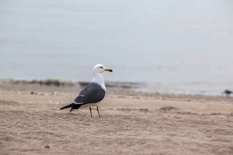 Beach Beauty In Nature Bird Close-up Day Focus On Foreground Island Lonely Nature No People Outdoors Sand Scenics Sea Bird Seagull Seascape Selective Focus Shore Sky Spread Wings The One Tranquil Scene Tranquility Watching