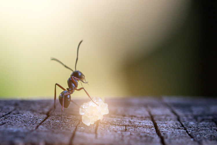 Close-up of ant on wooden table
