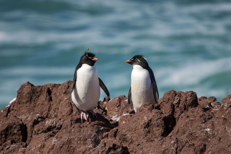 Couple of pinguiños of tuft yellow or rockhopper in the pinguino island that is in patagonia argentina Bird Animal Themes Animal Animals In The Wild Animal Wildlife Group Of Animals Vertebrate Two Animals No People Penguin Sea Rock Rockhopper FUNNY ANIMALS Cute Animals Wildlife Argentina Patagonia South America Nature Water Rock - Object Focus On Foreground Animal Family Outdoors