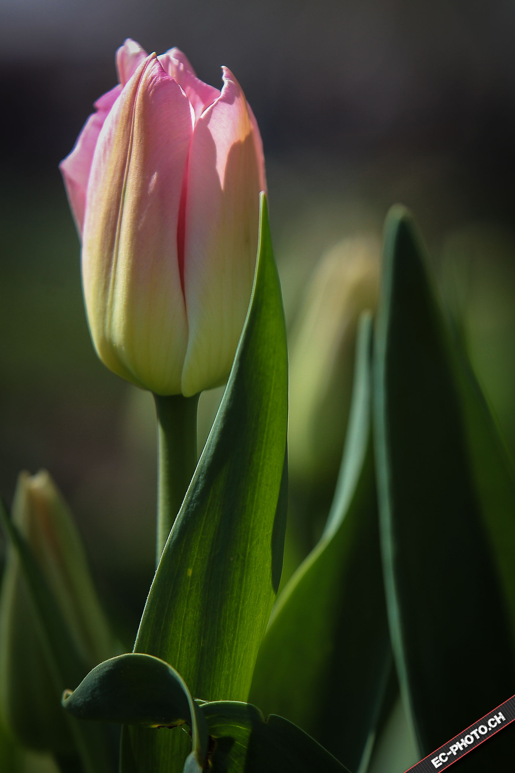 flower, petal, freshness, growth, fragility, close-up, flower head, beauty in nature, focus on foreground, nature, plant, bud, single flower, stem, blooming, leaf, selective focus, pink color, in bloom, tulip