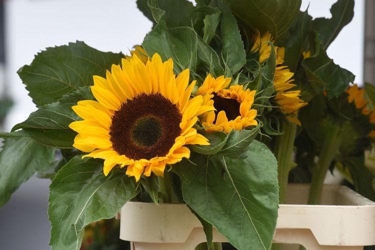 Close-up of sunflower on flower pot