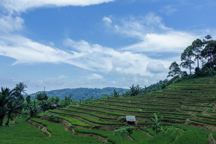 Rice Field Tea Crop Tree Rice Paddy Rural Scene Irrigation Equipment Terraced Field Tea - Hot Drink Beauty Agriculture Social Issues Rice - Cereal Plant Rice - Food Staple Satoyama - Scenery Fried Rice Asian Style Conical Hat Agricultural Field