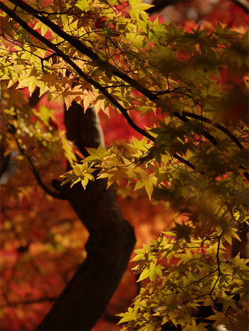 EyeEmNewHere EyeNewHere Autumn Beauty In Nature Close-up Focus On Foreground Leaf Mapple Nature Outdoors Tree