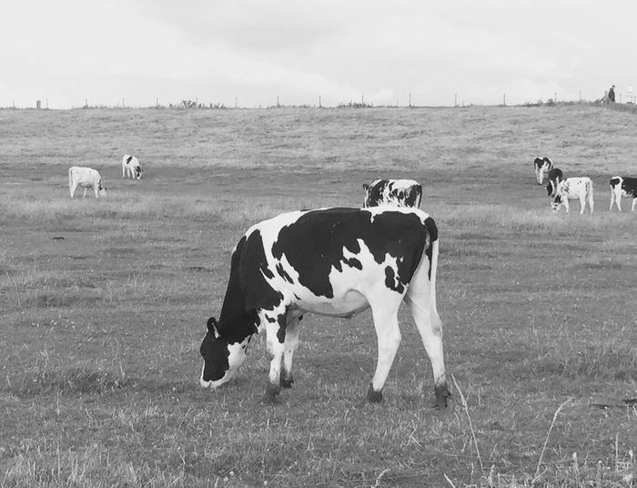 Cow Animal Black And White
