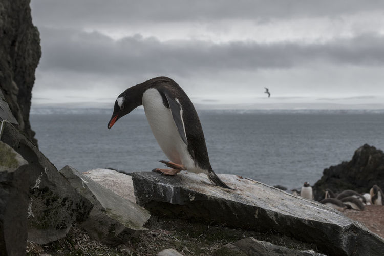 Sad looking gentoo penguin walking at a colony at livingston island, south shetlands, antarctica.