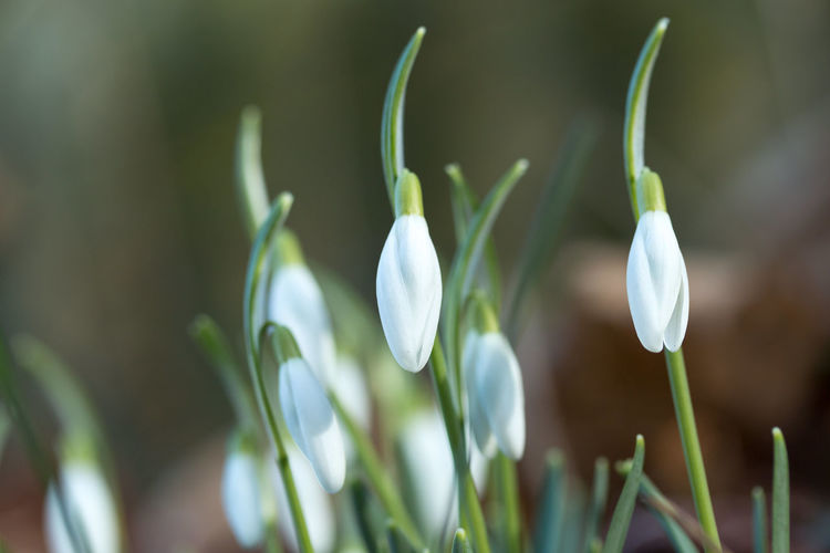 Close-up of snowdrop buds